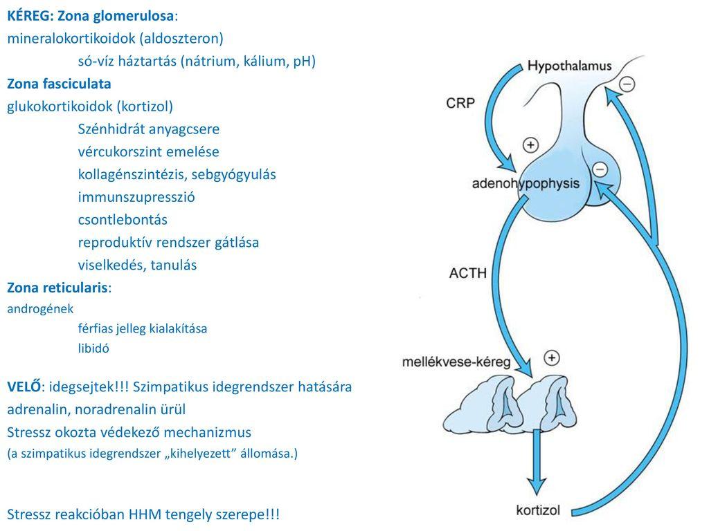 szimpato-mellékvese hipertónia lortenza magas vérnyomás esetén